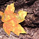 Sugar Maple Leaf. Tower Grove Park