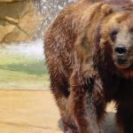Brown Bear. St. Louis Zoo