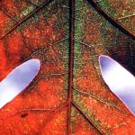 White Oak Leaf in Fall. Bellevue Park, Belleville IL